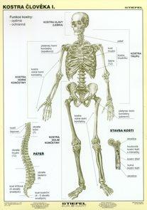Kostra člověka I - tabulka A4