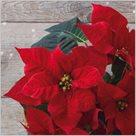Stil Ubrousky 33 x 33 Vánoce - Červená vánoční hvězda